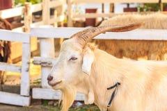 Vista da cabra do retrato Imagem de Stock Royalty Free