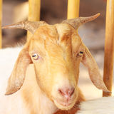 Vista da cabra do retrato Fotografia de Stock Royalty Free
