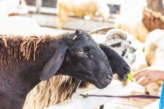 Vista da cabra do retrato Imagem de Stock