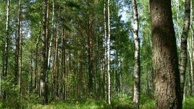 Vista da dietro l'albero sulla foresta mista densa con erba alta Legno verde di estate archivi video