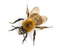 Vista da elevação ascendente de uma abelha europeia do mel, mellifera dos Apis foto de stock royalty free