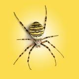 Vista da elevação ascendente de uma aranha da vespa, bruennichi do Argiope, em um yel Fotografia de Stock Royalty Free