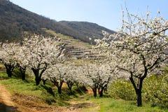 Vista da flor de cerejeira Fotografia de Stock Royalty Free