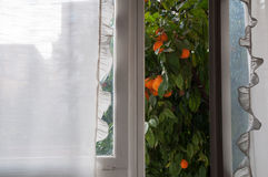 A vista da janela na árvore de mandarino Imagens de Stock Royalty Free