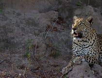 Vista da manhã do leopardo Imagens de Stock