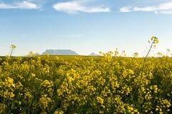 Vista da montanha da tabela com flores do Canola Fotos de Stock