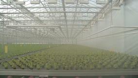 Vista da salada que cresce na estufa industrial filme