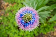 Vista da sopra di orgoglio del fiore di Candicans di echium del Madera, California fotografia stock libera da diritti