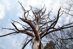 Vista da sotto su un pino asciutto contro il cielo blu fotografia stock