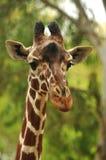 Vista da un'altezza di una giraffa. Immagini Stock Libere da Diritti