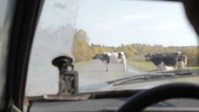 Vista da un'automobile commovente sulle mucche video d archivio