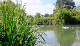 Vista da una sponda del fiume erbosa di passato di nuoto del cigno della madre e del bambino della sponda del fiume Fotografia Stock