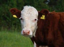 Vista da vitela Imagens de Stock