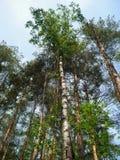 Vista dal basso degli alberi alti in un cielo blu misto della foresta nel fondo Concetto di protezione di natura, stagioni Fotografia Stock