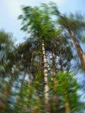 Vista dal basso degli alberi alti in una foresta mista di estate Cielo blu nel fondo Sfuocatura circolare artistica Concetto dell Fotografia Stock Libera da Diritti