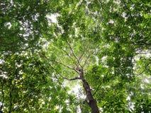 Vista dal basso degli alberi, delle foglie e del cielo bianco Immagine Stock