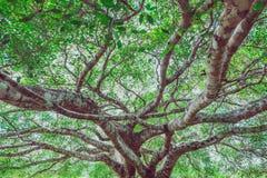Vista dal basso dei rami di albero con la foglia Immagini Stock