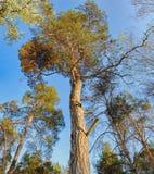 Vista dal basso del pino alto Fotografia Stock