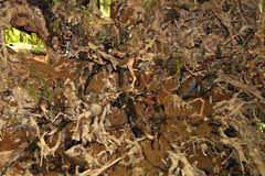 Vista dal basso del sistema della radice di grande albero caduto fotografie stock