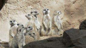 Vista dal basso del suricatta del Suricata di Meerkat gruppo enorme in zoo stock footage