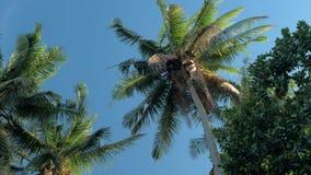 Vista dal basso della foresta degli alberi del cocco in sole Palme contro un bello cielo blu Palme verdi sul blu stock footage