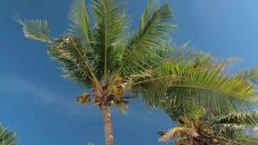 Vista dal basso della foresta degli alberi del cocco in sole Palme contro un bello cielo blu Palme verdi sul blu archivi video