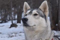 Vista dal basso di un husky dispari-osservato nel resto Fotografia Stock