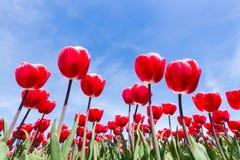 Vista dal basso rossa del campo dei tulipani con cielo blu Fotografie Stock