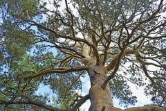 Vista dal basso verso l'alto su un alto pino Fotografia Stock Libera da Diritti