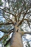 Vista dal basso verso l'alto su un alto pino Fotografia Stock