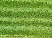 Vista dal cielo di una cultura del campo di grano Fotografie Stock