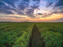 vista dal giacimento della canna da zucchero del fuco con il landscap della natura del cielo di tramonto Immagini Stock