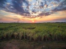 vista dal giacimento della canna da zucchero del fuco con il landscap della natura del cielo di tramonto Immagine Stock Libera da Diritti