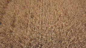 Vista dall'altezza del giacimento di grano