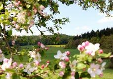 Vista das árvores e dos montes através das flores da mola que florescem em uma árvore fotografia de stock royalty free
