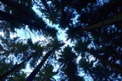 Vista das coroas das árvores do meio da floresta Imagem de Stock