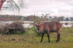 Vista das gazelas fotografia de stock