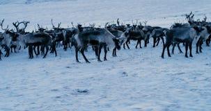 Vista das montanhas árticas Opinião aérea o rebanho da rena, que correu na neve na tundra 4K Movimento lento vídeos de arquivo