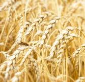 Vista das orelhas douradas do fim do trigo acima no tempo de colheita Ascendente próximo do gafanhoto Fundo rural da agricultura foto de stock