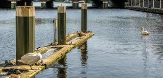 Vista davanti alla serratura del Alster a Amburgo, Germania, con i cigni e le anatre Immagine Stock Libera da Diritti