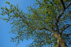 Vista de árbol de debajo Almendra, catappa de Terminalia Árbol de almendra de Bengala fotos de archivo libres de regalías