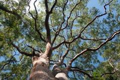 Vista de árbol del eucalipto de debajo con el cielo azul, Sydney, Australia fotos de archivo