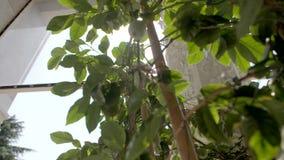 Vista de árbol del limón metrajes