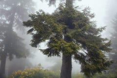 Vista de árvores de pinhos na névoa A imagem é capturada na montanha chamada Si fotos de stock