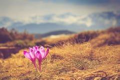 Vista de açafrões e de montanhas de florescência no fundo Foto de Stock