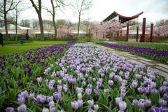 Vista de açafrões roxos no jardim de Keukenhof, Países Baixos Imagens de Stock