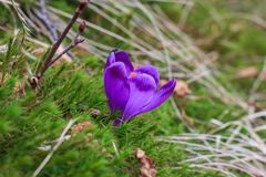 Vista de açafrões violetas de florescência do close-up entre o musgo e a folha seca primeiras flores bonitas da mola Imagem de Stock