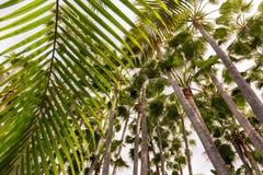 Vista de baixo de uma floresta densamente coberta das palmeiras com uma grande folha de palmeira no primeiro plano fotografia de stock royalty free