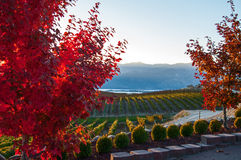 Vista de Benson Vineyard Foto de Stock
