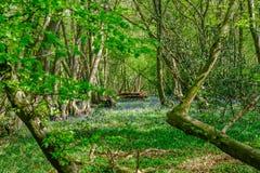 Vista de campanillas en el bosque en primavera Foto de archivo libre de regalías